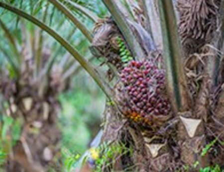 Africa Palm Oil Initiative - New Partnerships for Forests funding to continue work of Central and West African countries
