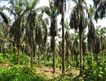 Second newsletter from the Africa Palm Oil Initiative's Ghana national platform