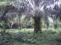 Benso Oil Palm Plantations achieves RSPO certification
